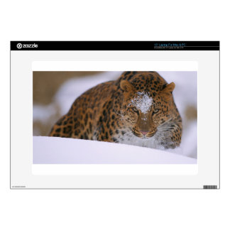 """A Rare Amur Leopard Peers Over a Snowy Embankment. 15"""" Laptop Decals"""