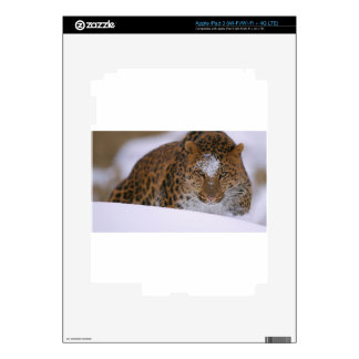 A Rare Amur Leopard Peers Over a Snowy Embankment. Decals For iPad 3