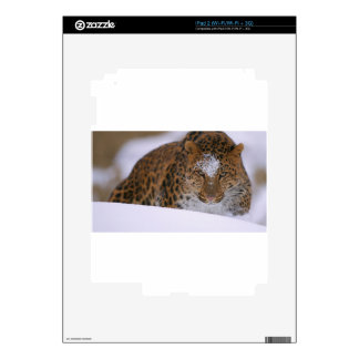 A Rare Amur Leopard Peers Over a Snowy Embankment. iPad 2 Decals