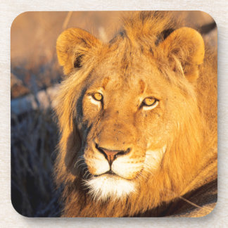A Red Maned Lion looking at the camera. Beverage Coaster