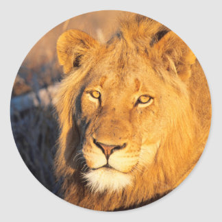 A Red Maned Lion looking at the camera. Classic Round Sticker