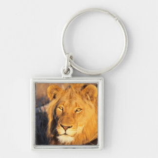 A Red Maned Lion looking at the camera. Keychain