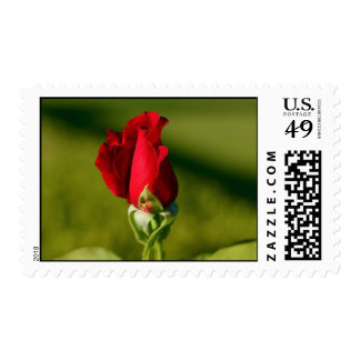 A Red Rose Postage Stamp