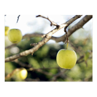 A ripe yellow apple hangs from the branch of a tre postcard