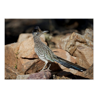 A Road runner pauses momentarily on its search Poster