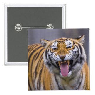 A roaring tiger, Taiwan, Taipei, Taipei Zoo Pinback Button