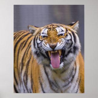 A roaring tiger, Taiwan, Taipei, Taipei Zoo Poster