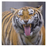 A roaring tiger, Taiwan, Taipei, Taipei Zoo Ceramic Tile