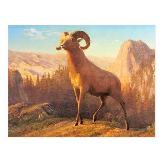 A Rocky Mountain Sheep by A. Bierstadt Postcard