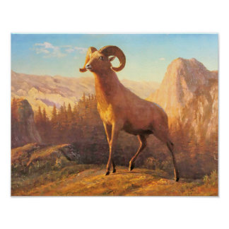 A Rocky Mountain Sheep by A. Bierstadt Poster