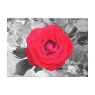 A rose in Tivoli (black save and) Canvas Print
