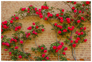 f92c21caf983 a roses climb on a brick wall on nike backpack