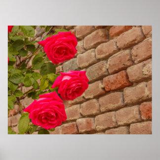 a roses climb on a brick wall poster