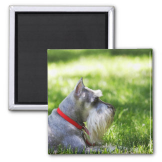 A Schnauzer laying in the grass 2 Inch Square Magnet