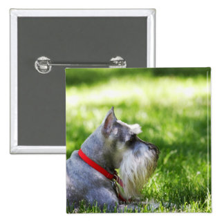 A Schnauzer laying in the grass Button