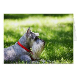 A Schnauzer laying in the grass Card
