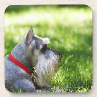 A Schnauzer laying in the grass Drink Coaster