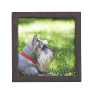 A Schnauzer laying in the grass Jewelry Box