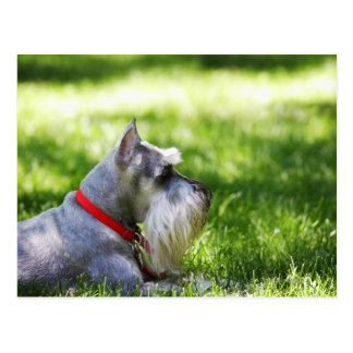 A Schnauzer laying in the grass Postcard