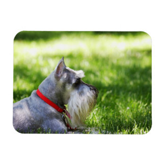 A Schnauzer laying in the grass Rectangular Photo Magnet