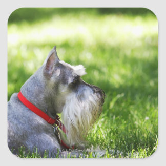 A Schnauzer laying in the grass Square Stickers