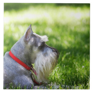 A Schnauzer laying in the grass Tile