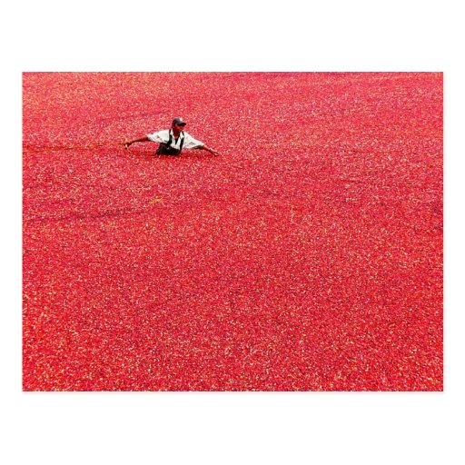 A sea of red cranberries postcards