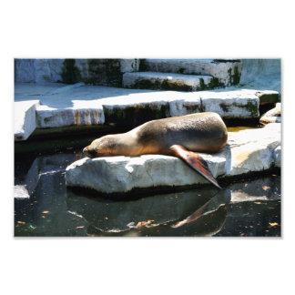 A Seal Sleeping on a platform Photo Print