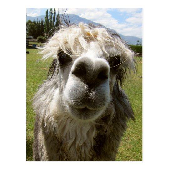 A Shaggy Alpaca Postcard