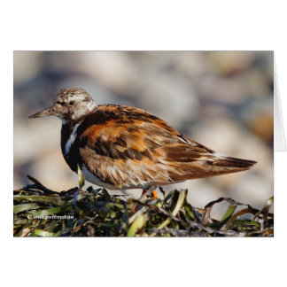 A Showstopping Ruddy Turnstone Card
