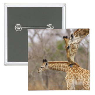 A side view of a Giraffe licking its young, Button