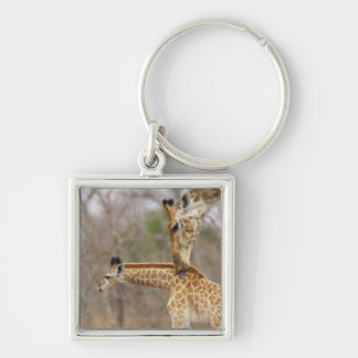 A side view of a Giraffe licking its young, Keychain
