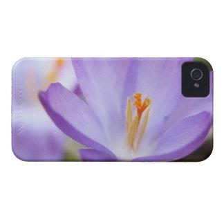 A Single Crocus Flower iPhone 4 Case-Mate Case