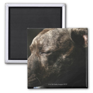 A sleeping pit bull dog 2 inch square magnet