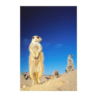 A small Suricate family interacting at their den Canvas Print
