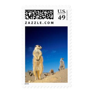 A small Suricate family interacting at their den Postage