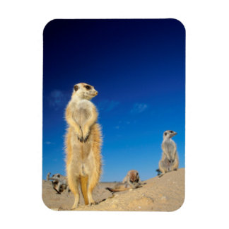 A small Suricate family interacting at their den Rectangular Photo Magnet