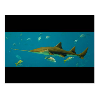 A Smalltooth Sawfish Pristis pectinata Postcard