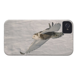 A Snowy owl gliding. iPhone 4 Case-Mate Case