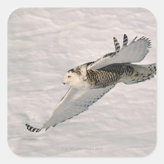 A Snowy owl gliding. Square Sticker