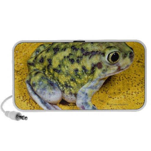 A spadefoot toad speakers