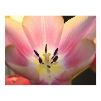 A Spring Tulip Embrace Postcard