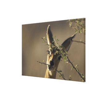 A Steenbok looking at the camera while it eats Canvas Prints
