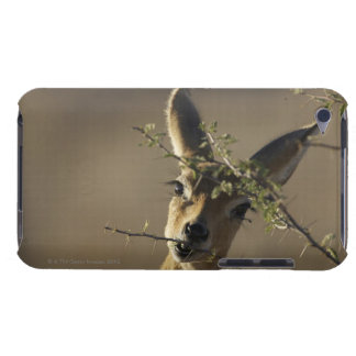 A Steenbok looking at the camera while it eats iPod Touch Cover