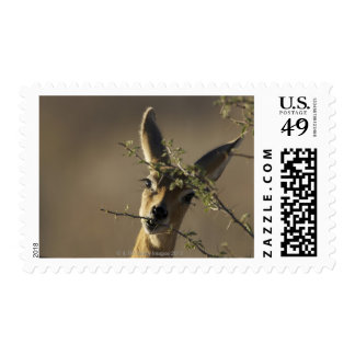 A Steenbok looking at the camera while it eats Postage
