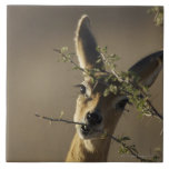 A Steenbok looking at the camera while it eats Tile