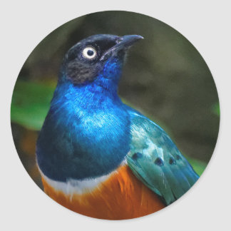 A Stunning African Superb Starling Classic Round Sticker