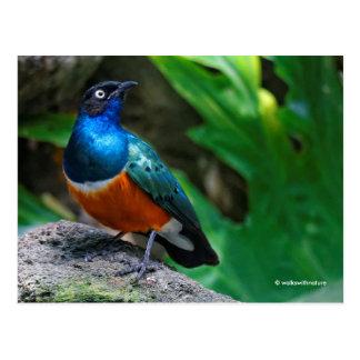 A Stunning African Superb Starling Postcard