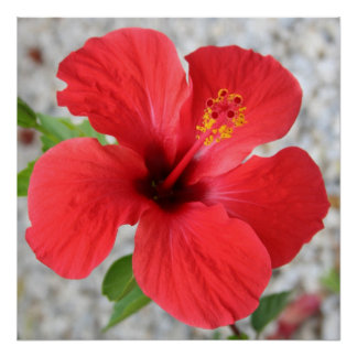 A Stunning Scarlet Hibiscus Tropical Flower Print