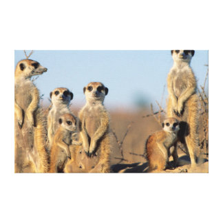A Suricate family sunning themselves at their den Canvas Print